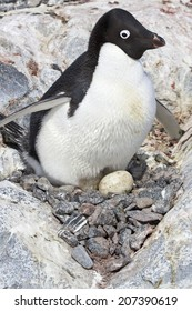 female Adelie penguin sitting on eggs in the nest among the rocks