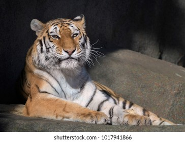Female adult amur tiger laying on rocky surface