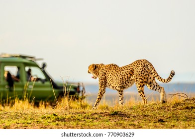 Female adult cheetah walking purposefully yet gracefully across the savannah, watching prey in the distance.Her mouth is open wide, yawning and tail extended.She is oblivious to safari vehicle nearby.