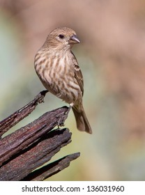 Female adult House Finch (Carpodacus mexicanus) perched on a broken tree branch in central Texas.