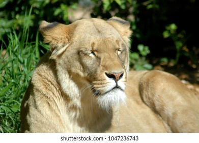 Female adult lion sleeping in the sun