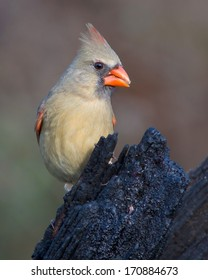 Female adult Northern Cardinal (Cardinalis cardinalis) perched in the Texas Hill Country