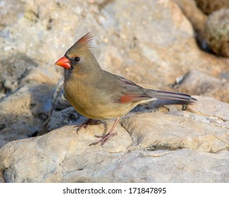 Female adult Northern Cardinal (Cardinalis cardinalis) perched on rocks in the Texas Hill Country