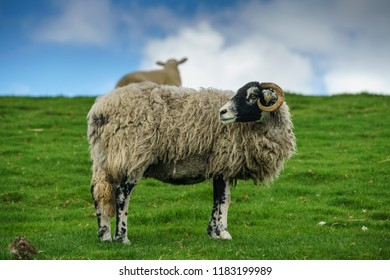 Female adult sheep, a Swaledale Ewe, looking back over its shoulder. This is a horned hardy breed native to the Yorkshire Dales, UK. a hill sheep