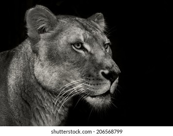 An female Africa lion portrait on a black background head only in monochrome (black and white)