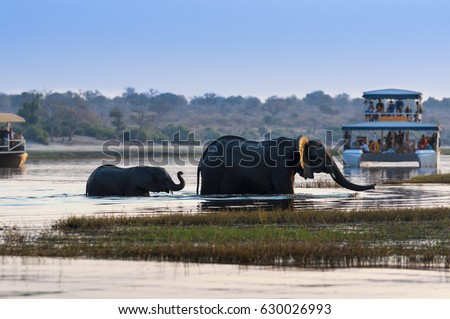 Female African Elephant and its cub crossing the Chobe River in the Chobe National Park with tourist boats on the background; Concept for travel in Botswana and Safari