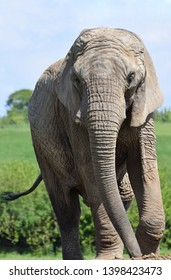Female African Elephant facing the cameral vertical portrait