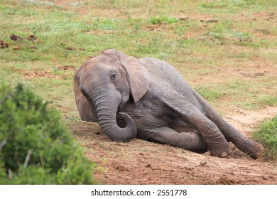 Female African Elephant lying down to rest