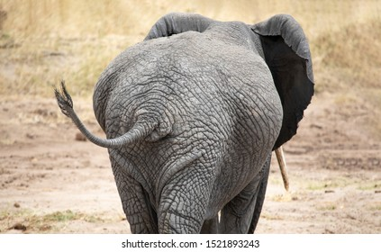Female african elephant in nature