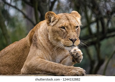 Female african lion cleaning its fur
