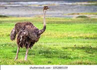 Female African ostrich in savannah
