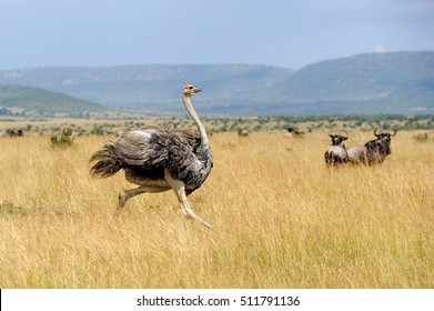 Female of African ostrich (Struthio camelus) in National reserve park of Kenya