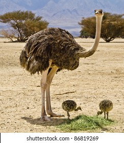 Female of African ostrich (Struthio camelus) with young chicks in the Negev desert, Hai Bar national reservation, 25 km from Eilat, Israel