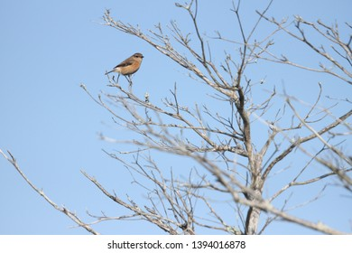 A Female African Stone Chat sitting on a branch