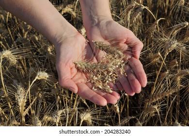 Female agronomist hand holding wheat crop