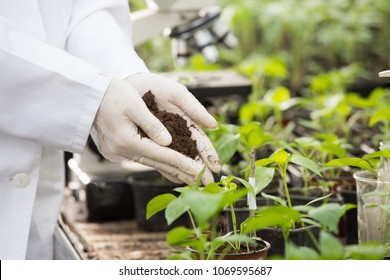 Female agronomist in white coat and gloves holding soil in hands above tomato seedlings in flower pots in greenhouse