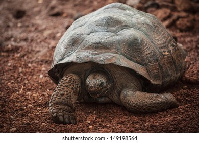 A female Albara Turtle, the largest species of land turtles with the galapagos turtles, in relaxation phase in a tropical warm environment in a french National Park
