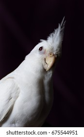 a female albino cockatiel isolated against a black background