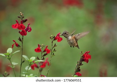 A female Allen's hummingbird drinking nectar from red salvia