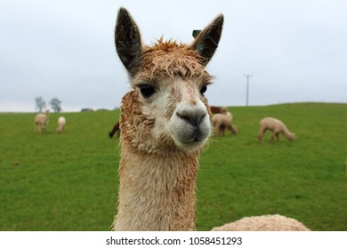 A female Alpaca on a farm in the UK, posing for the camera, with others from her herd in the background.