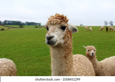 A female Alpaca on a farm in the UK, on a cold, wet, spring day, with her young (Cria) stood behind her.
