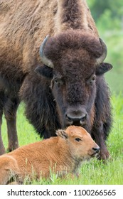 Female American bison (Bison bison) with a calf, Neal Smith National Wildlife Reserve, Iowa, USA.