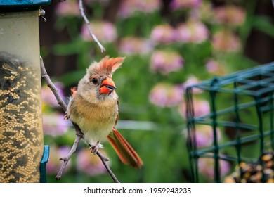 Female American Cardinal (Cardinalis cardinalis) perched on a feeder