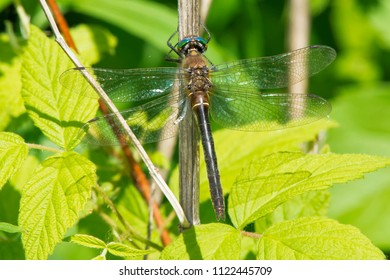 Female American Emerald Dragonfly perched on a stick. Kirkfield Lift Lock, Kawartha Lakes, Ontario, Canada.