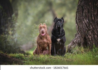 Female American Pit Bull Terrier and male Cane Corso Italianо sitting on green grass among tall trees against the backdrop of a cool evening summer landscape