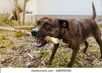 Female American Pitbull terrier dog playing fiercely with a stick outdoors in natural light
