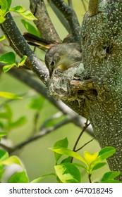 Female American Redstart constructing her nest.