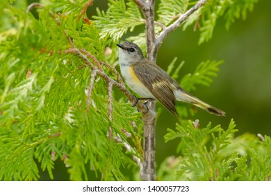 Female American Redstart perched on a branch. MacGregor Point Provincial Park, Port Elgin, Ontario, Cabada.