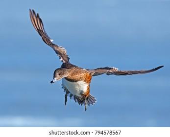 Female American Wigeon Duck in Flight