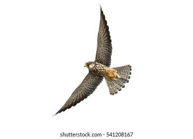 Female Amur falcon flying, Bird isolated on white background
