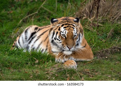 Female Amur Tiger resting in green grass/Amur Tiger/Amur Tiger