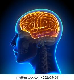Female Anatomy Brain Full