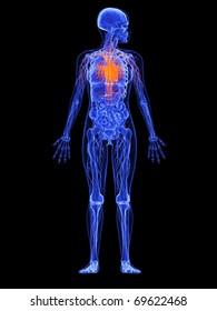 female anatomy - heart