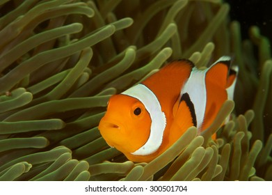 A female Anemone fish in its Anemone