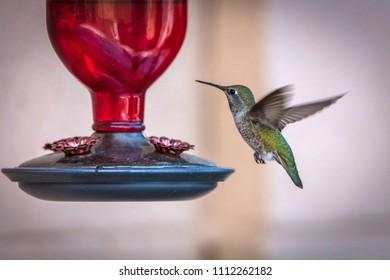 Female Anna's hummingbird (Calypte anna) photographed at a feeder.