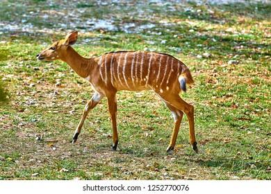 Female antelope of Nowland nyala(Tragelaphus angasii)