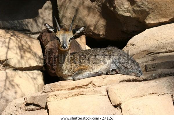 Female antelope resting on the sun.