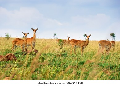 Female antelopes uganda race kob in the Queen Elizabeth national park at dawn, Uganda