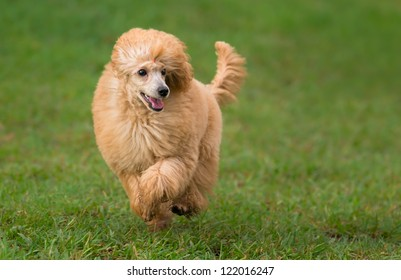 Female apricot poodle dog running