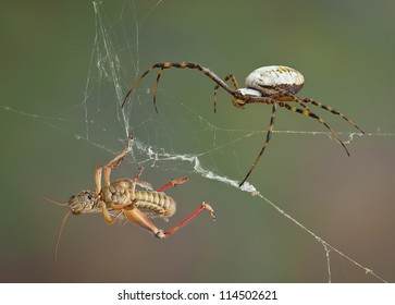 A female argiope spider is approaching a hopper caught in her web.
