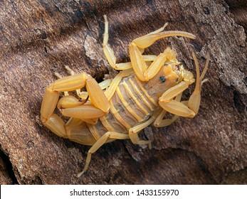 Bark Scorpions Images, Stock Photos & Vectors | Shutterstock