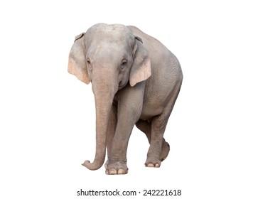 female asia elephant isolated on white background