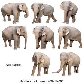female asia elephant isolated on white background collection