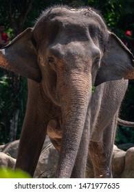 Female Asian Elephant in captivity