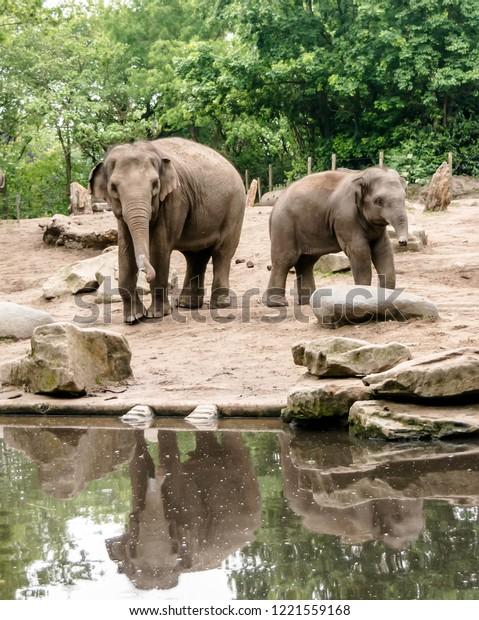 female-asian-elephant-elephas-maximus-60
