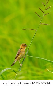 Female Asian Golden Weaver perching on grass stalk looking into a distance